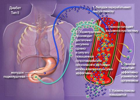 http://saharniy-diabet.com/userfiles/podgeludochnaya-geleza1.jpg