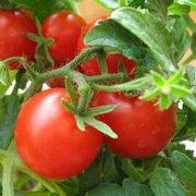 http://saharniy-diabet.com/userfiles/pomidory22.jpg